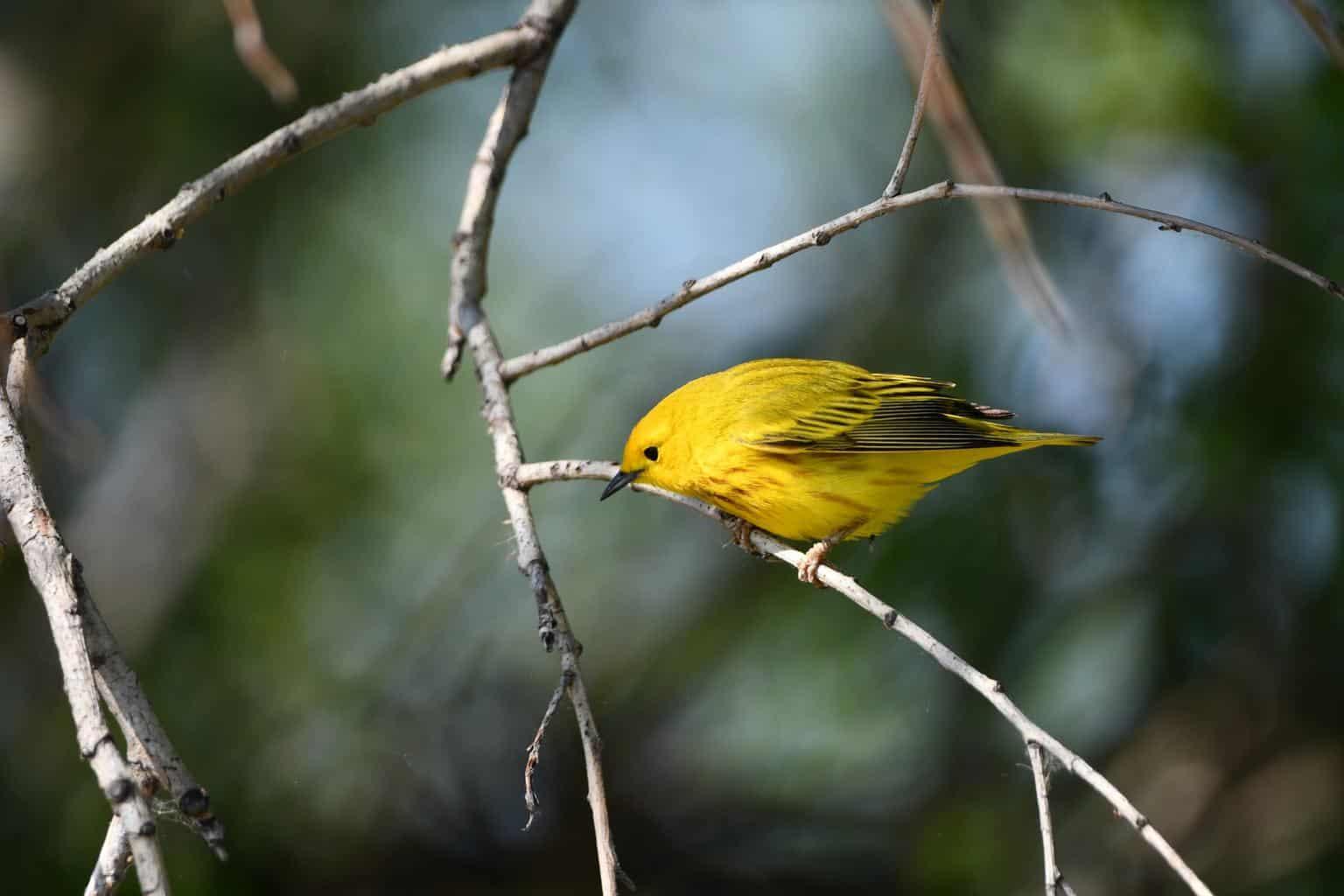 American Yellow Warbler