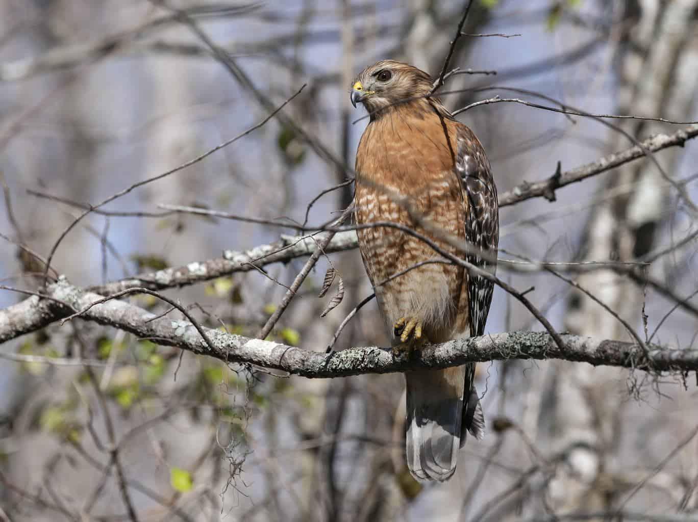 Hawks In New Hampshire