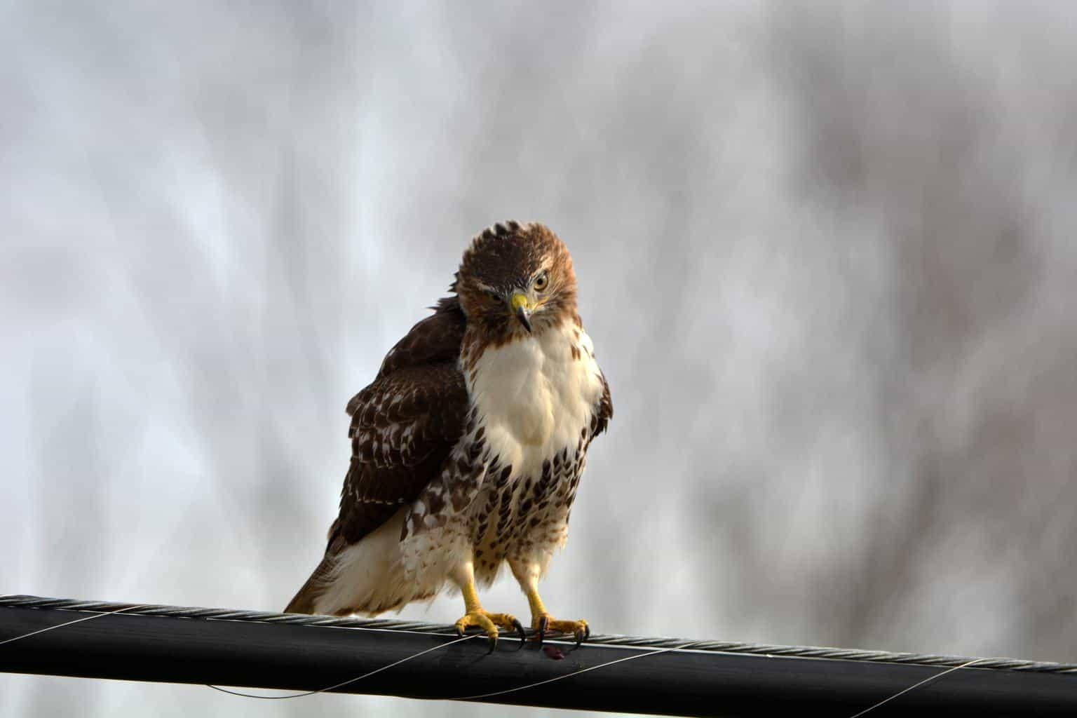 Hawks In Washington