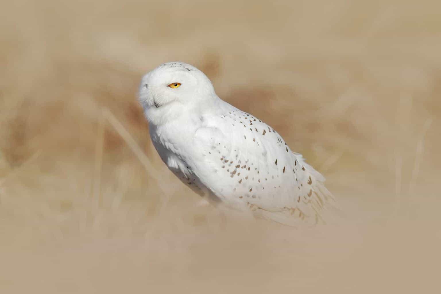 Owls In Nebraska