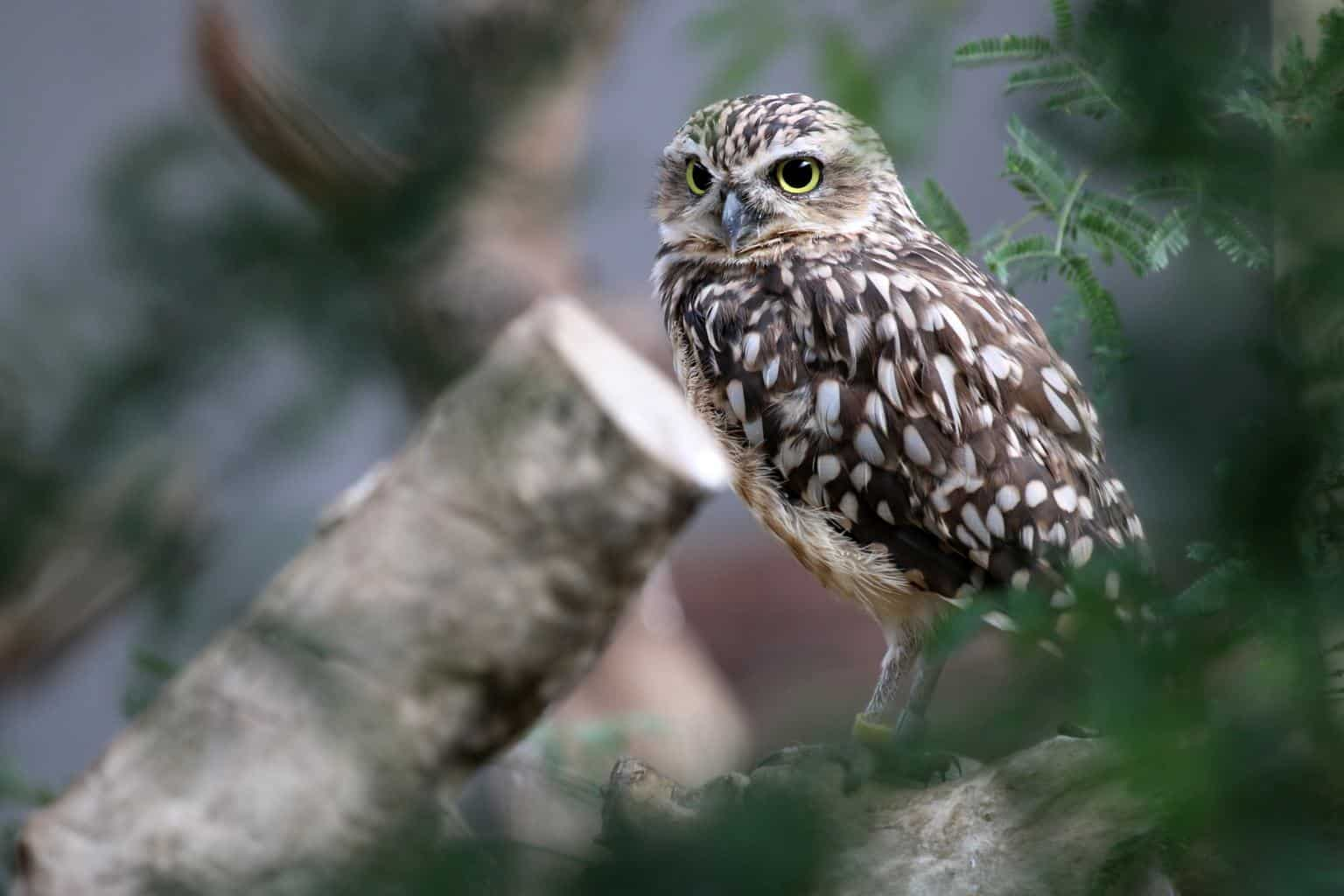 Owls In New Hampshire