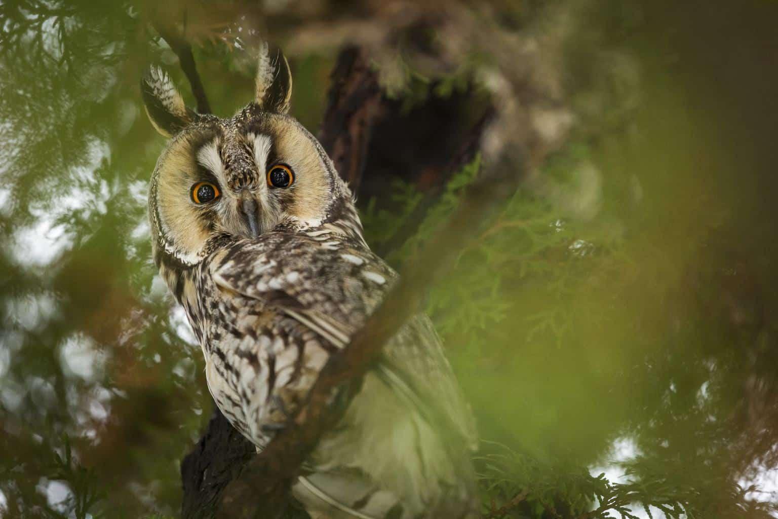 Owls In Ohio