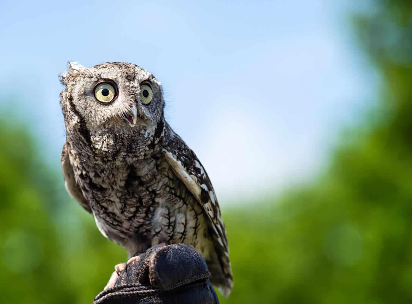 Owls In Vermont