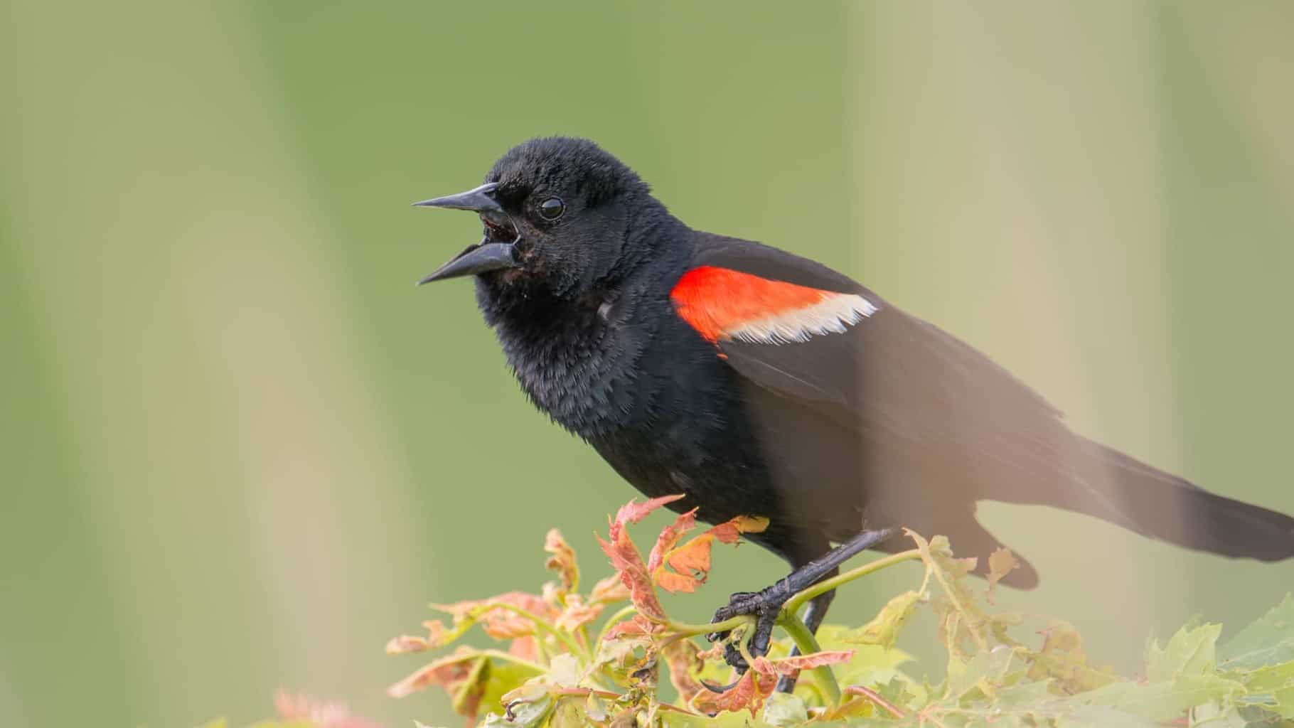 Birds In Ohio