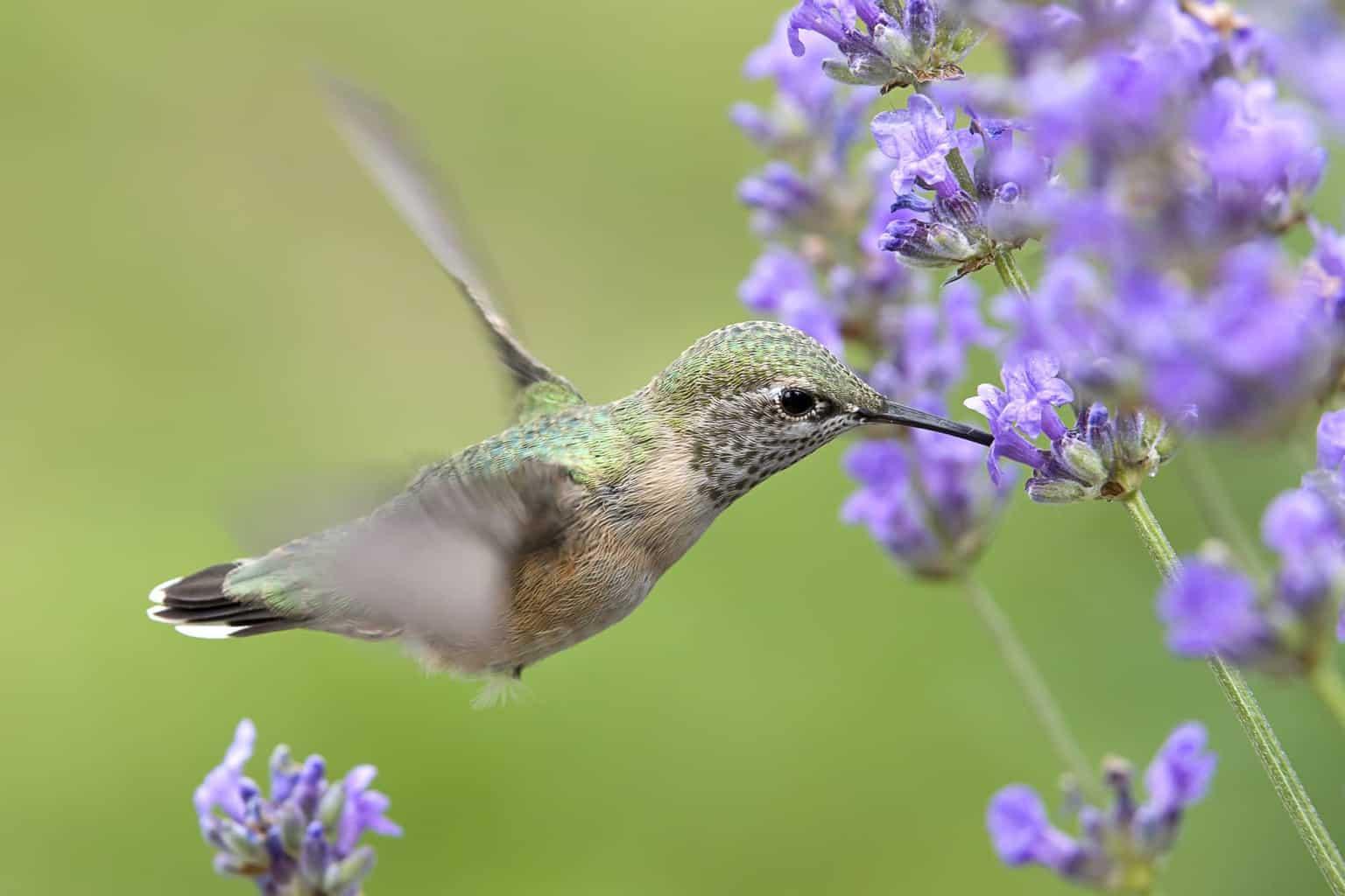 Calliope's Hummingbird